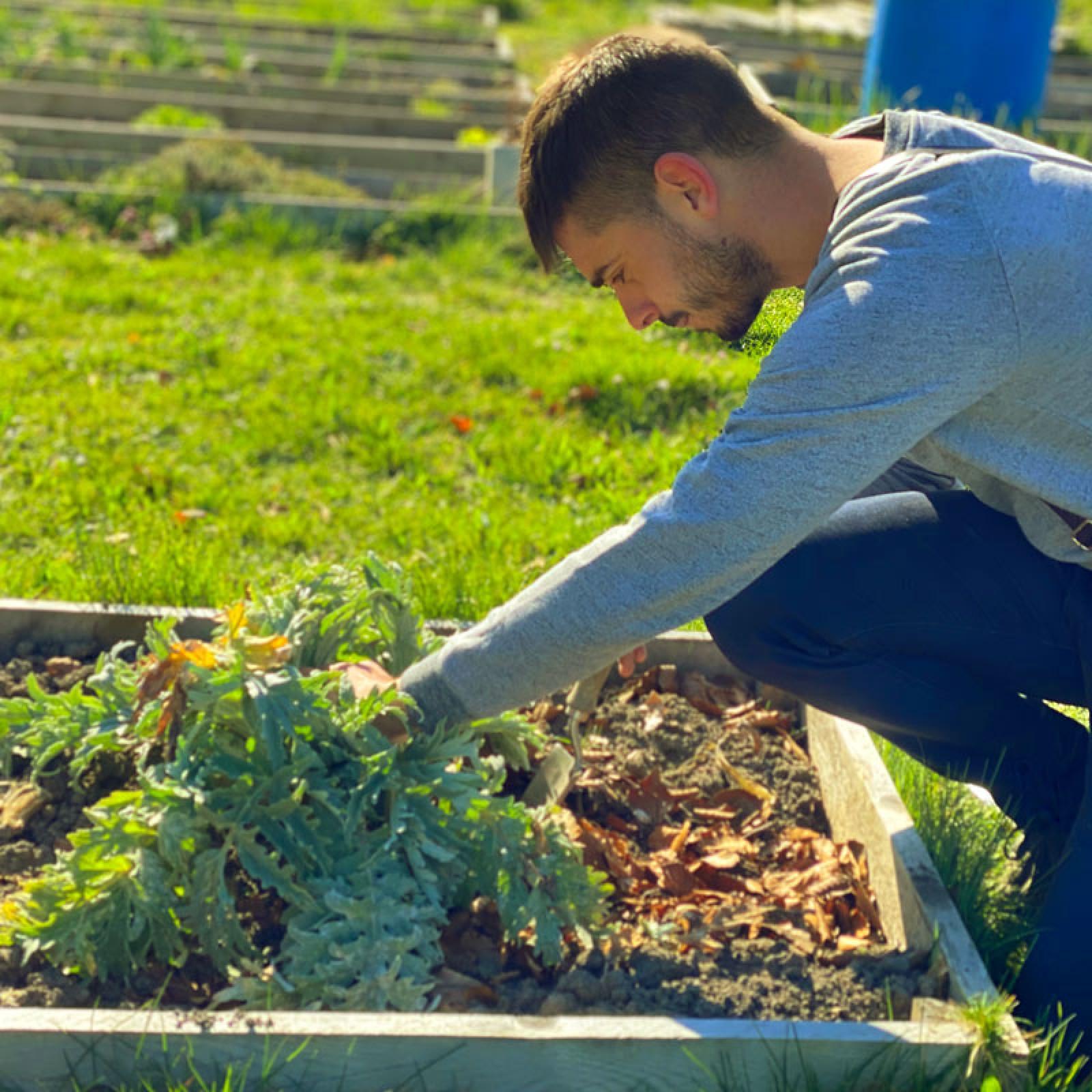 Repiquer Plants Oignons Blancs mesclun, oignons et artichaut - tom le jardinier